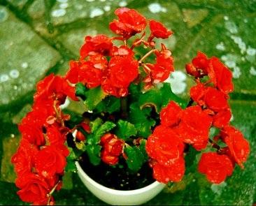 Begonia Semperflorens-ryhmä