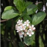 Aronia Prunifolia-ryhmä