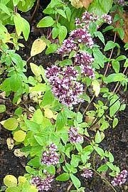 Origanum vulgare