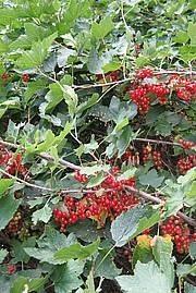 Ribes Rubrum-ryhmä
