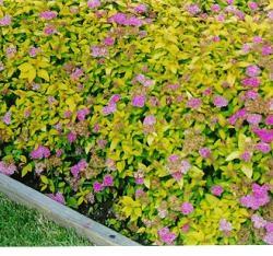 Japaninangervo Japaninangervo, Spiraea japonica, prakstpirea