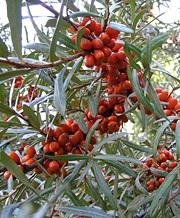 Tyrni, Hippophae rhamnoides, havtorn
