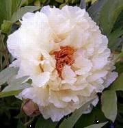 Paeonia Suffruticosa-ryhmä