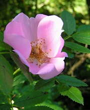 Karoliinanruusu, Rosa carolina, carolinaros