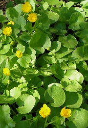 Mukulaleinikki, Ranunculus ficaria, svalört