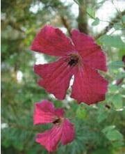 Clematis viticella