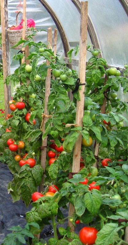 Tomaatti, Solanum lycopersicum, tomat