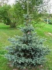 Picea pungens 'Glauca'