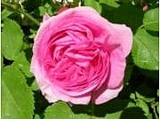 Rosa Bourbon-ryhmä 'Louise Odier'