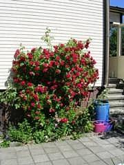 Rosa Loistoköynnösruusu-ryhmä 'Flammentanz'