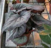 Begonia Rex-ryhmä