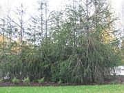Picea abies f. virgata
