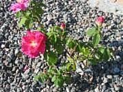 Rosa 'Officinalis'