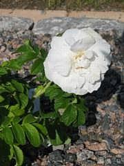 Rosa 'Souvenir de Philemon Cochet'
