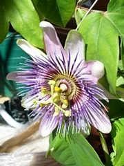 Kärsimyspassio (kärsimyskukka), Passiflora caerulea, blå passionsblomma