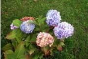Hydrangea Macrophylla-ryhmä