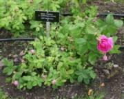 Rosa Centifolia-ryhmä 'Pikkala'