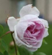 Rosa 'Minette'