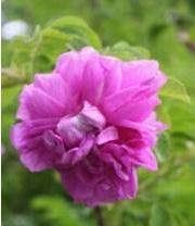 Rosa 'Tarja Halonen'