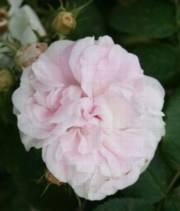 Rosa Alba-ryhmä 'Maiden's Blush'