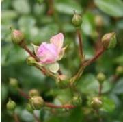 Rosa Peittoruusu-ryhmä 'The Fairy'