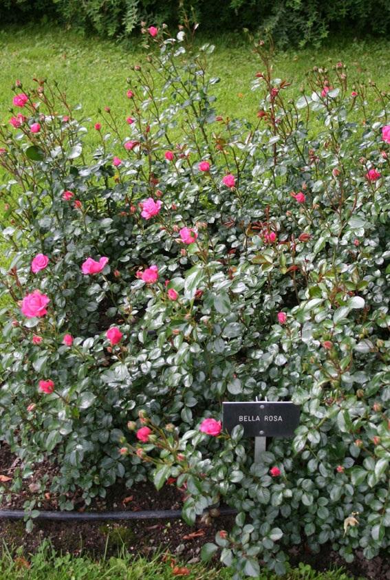 Floribundaruusu Bella Rosa, Rosa Floribunda-ryhmä 'Bella Rosa', floribundaros