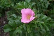 Rosa rugosa 'Fru Dagmar Hastrup'