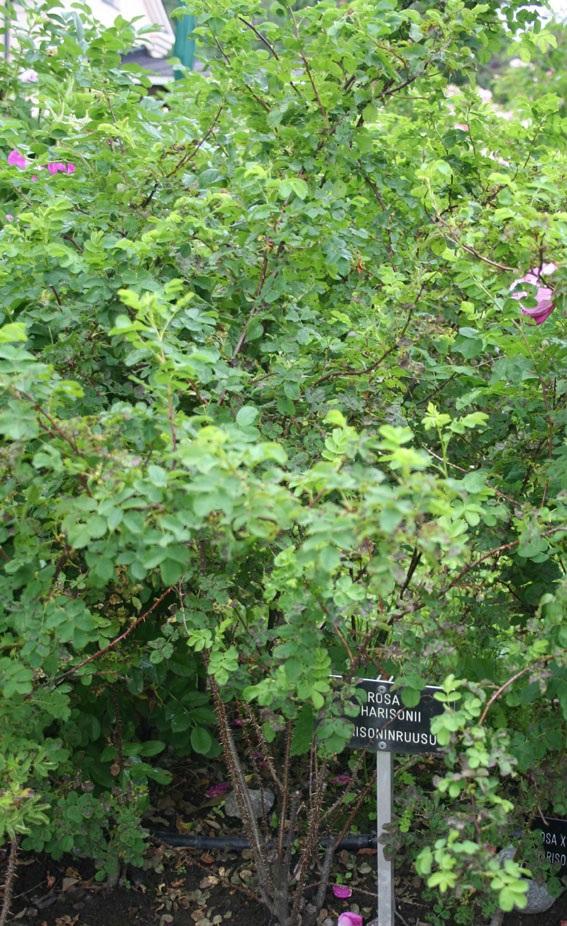 Harisoninruusu, Rosa x harisonii,