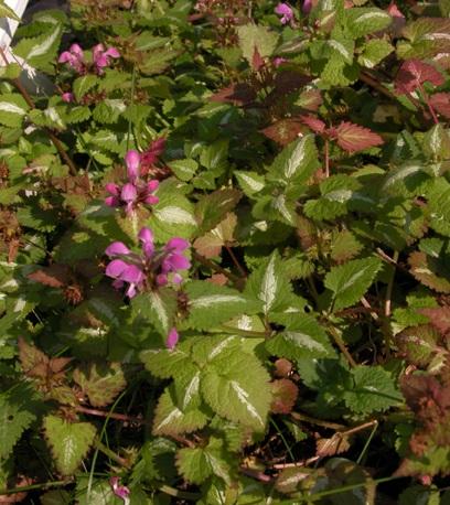 Hopeatäpläpeippi, Lamium maculatum, rosenplister