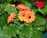 minigerbera Gerbera (sädelatva), Gerbera x cantabrigiensis, gerbera