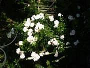 Rosa Loistoköynnösruusu-ryhmä 'New Dawn'