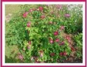 Rosa 'Splendens'
