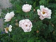 Rosa Pimpinellifolia-ryhmä 'Poppius'