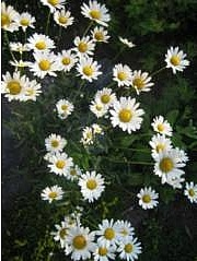 Päivänkakkara, Leucanthemum vulgare, prästkrage