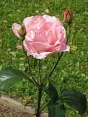 Rosa Grandiflora-ryhmä 'Queen Elisabeth'