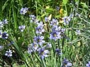 Sisyrinchium graminoides