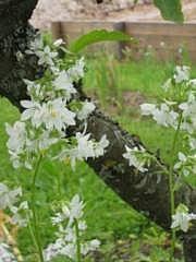 Polemonium caeruleum