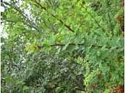 Berberis thunbergii