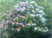 Rhododendron Catawbiense-ryhmä