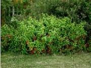 Lepaalta. Japaninruusukvitteni, Chaenomeles japonica, liten rosenkvitten