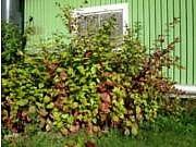 Cornus alba 'Sibirica'