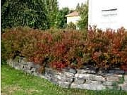 Spiraea japonica 'Froebelii'