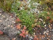 Arctostaphylos uva-ursi