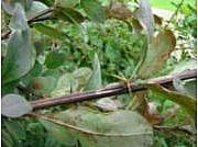 Berberis x ottawensis 'Superba'