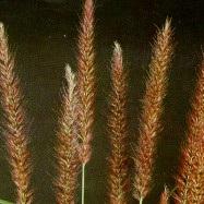 Sulkahirssi Arabiansulkahirssi, Pennisetum setaceum, fjäderborstgräs