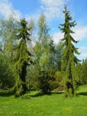 Picea abies f. pendula