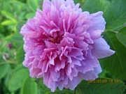 Rosa majalis 'Tornedal'