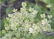 Hydrangea paniculata 'Mustila'