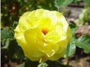 Rosa Floribunda-ryhmä 'Friesia'