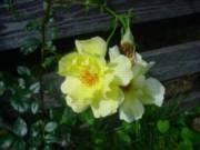Rosa Loistoköynnösruusu-ryhmä 'Golden Showers'